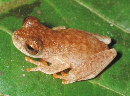 "New ""Bat Frog"" Found in Amazon, Named for Ozzy Osbourne"