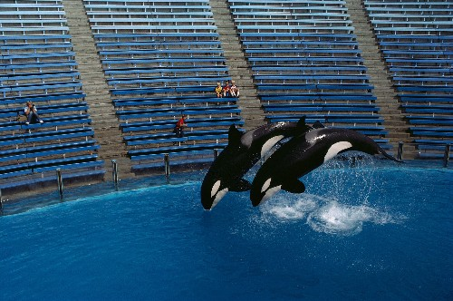Orca Shows and Breeding Banned in California