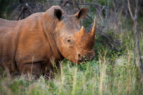 Proposal to open up rhino horn trade rejected