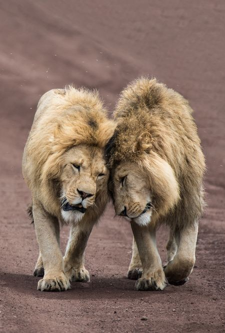 LION BROTHERS:) Photo by ROMAN B. — National Geographic Your Shot