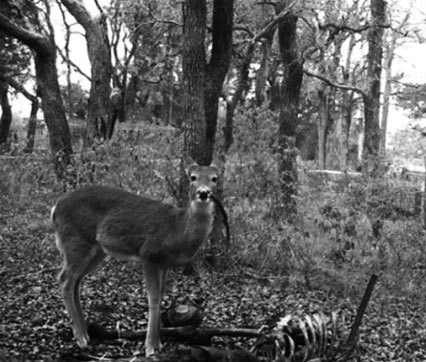 Never Before Seen: Deer Spotted Eating Human Bones