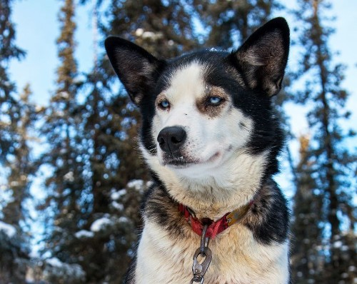 What Makes a Great Sled Dog? Breed, Ambition, Tough Feet