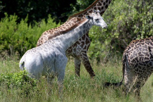 Extremely Rare White Giraffe Spotted—What Would You Name Her?