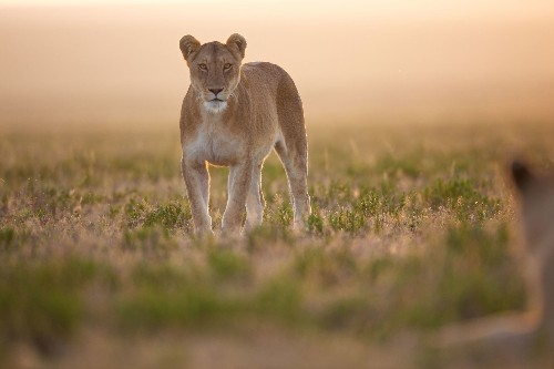 Lion trophy approved for import into U.S., stirring controversy. Here's why that matters.