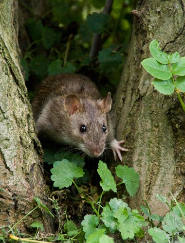 Viking Invaders Brought Armies of Mice