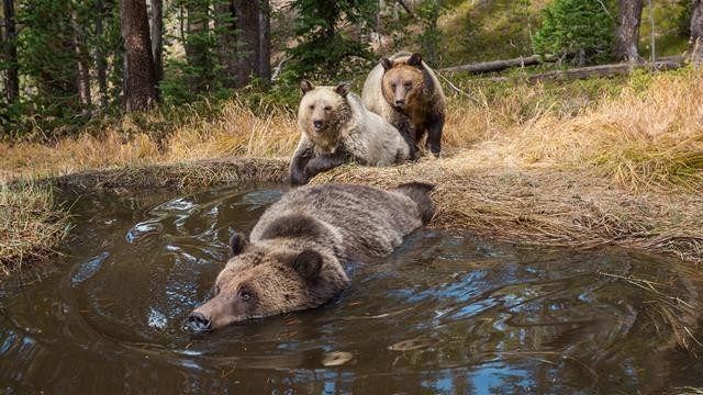 Brown Bears Use 'Human Shield' to Protect Their Cubs
