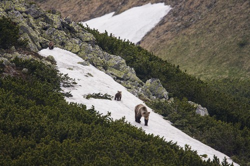 Wolves and Bears Stage Comeback in Crowded, Urban Europe