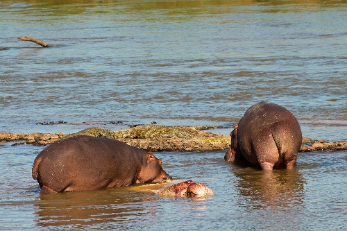 Rare Picture: Hippo Seen Eating Hippo—and More Cannibals