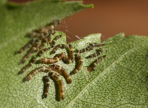 Caterpillars Drum Their Anuses To Find New Friends