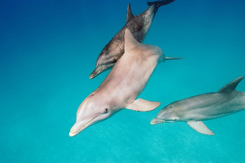 See dolphins punt fish out of water to stun and eat them