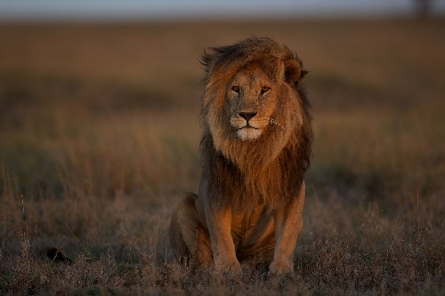 Where lions once ruled, they are now quietly disappearing