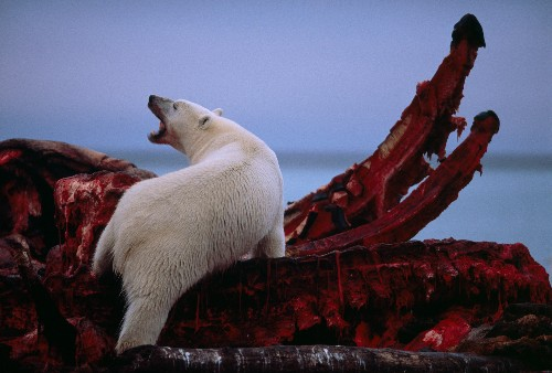 Whale meat helped polar bears survive past warming