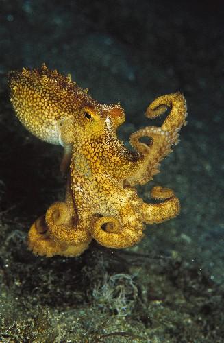 World's largest deep-sea octopus nursery discovered