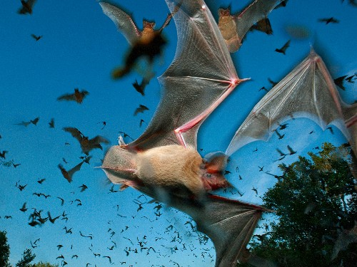 Bats Make Calls to Jam Rivals' Sonar—First Time Ever Found