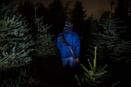 'Chanel No. 5 of Christmas trees' threatened by poachers