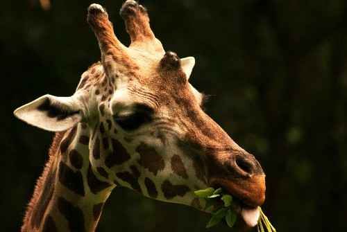 How Giraffes Became Winners by a Neck