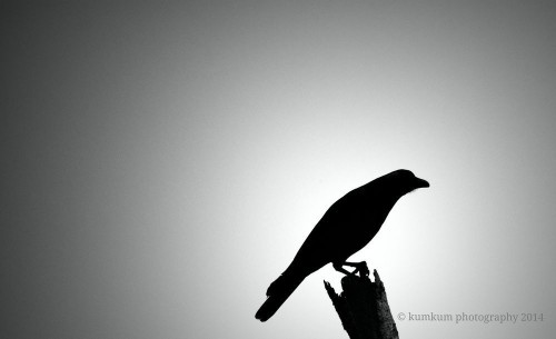 The crow Photo by A. Kumkum — National Geographic Your Shot