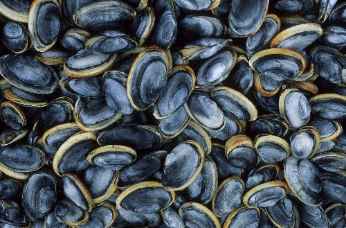 Selfish Shellfish Cells Cause Contagious Clam Cancer