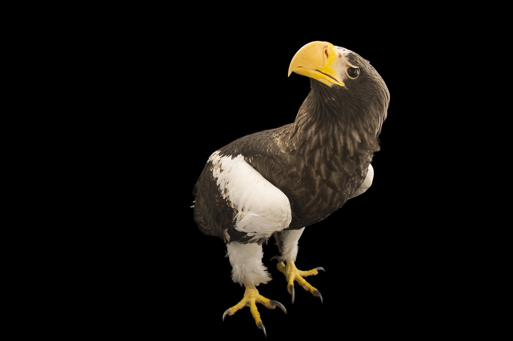 Steller's Sea Eagle | National Geographic