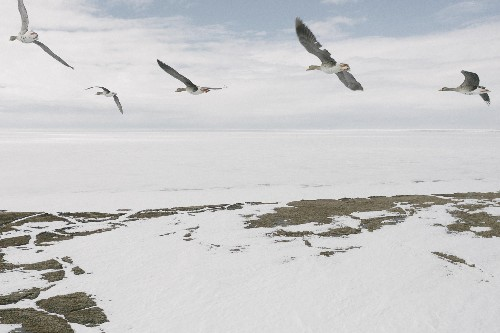 Alaska's last vast wild place is open for drilling. Will the birds survive?