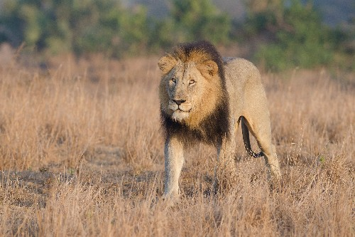 Suspected Poacher Mauled by Lions