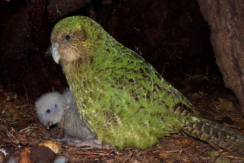 Scientists are getting creative to save this muppet-faced, flightless parrot