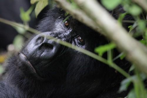 Tracking Gorillas in Rwanda
