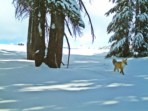 Extremely Rare Fox Seen in Yosemite—First Time in 100 Years
