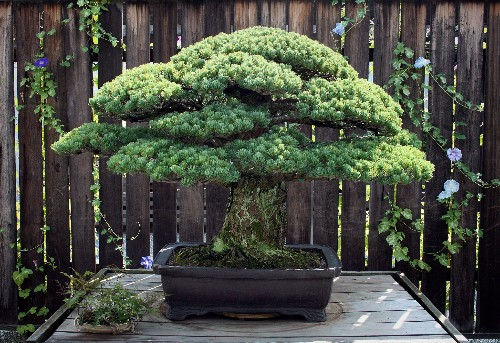 This Bonsai Survived Hiroshima But Its Story Was Nearly Lost