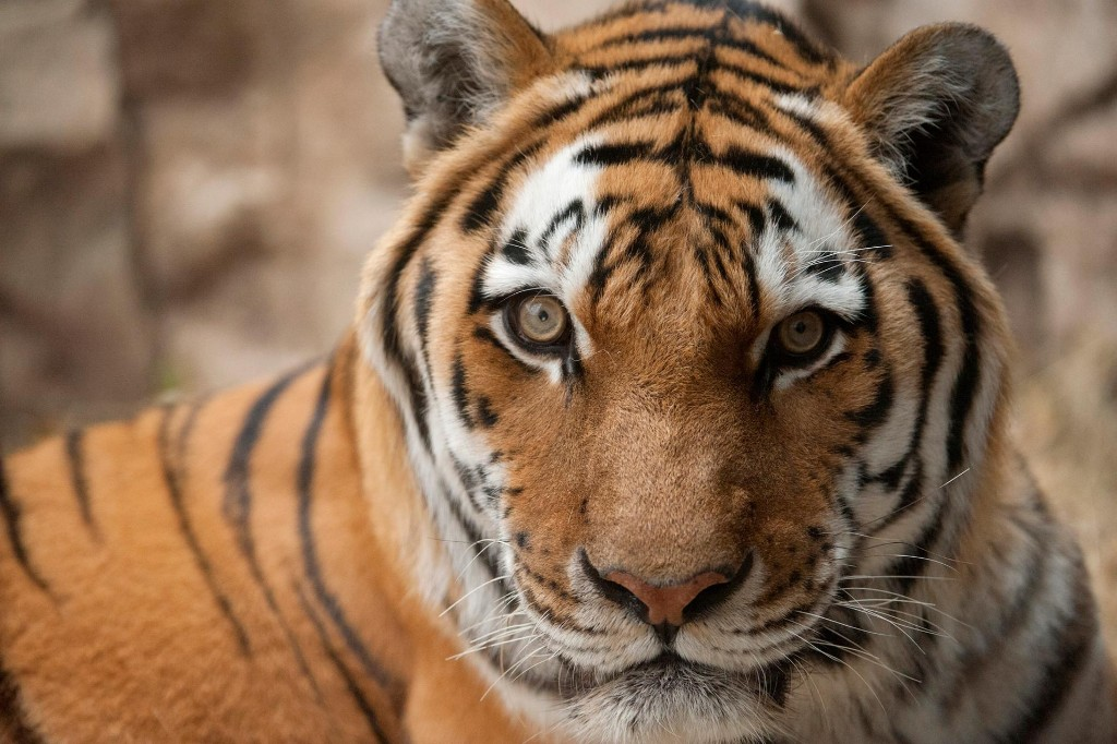 Key facts that 'Tiger King' missed about captive tigers