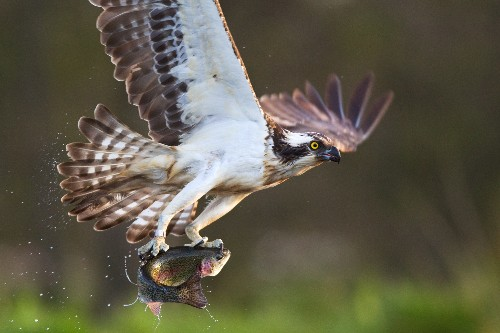 Atop Food Chain, Ospreys Ingest Many Poisons, Revealing Environmental Dangers