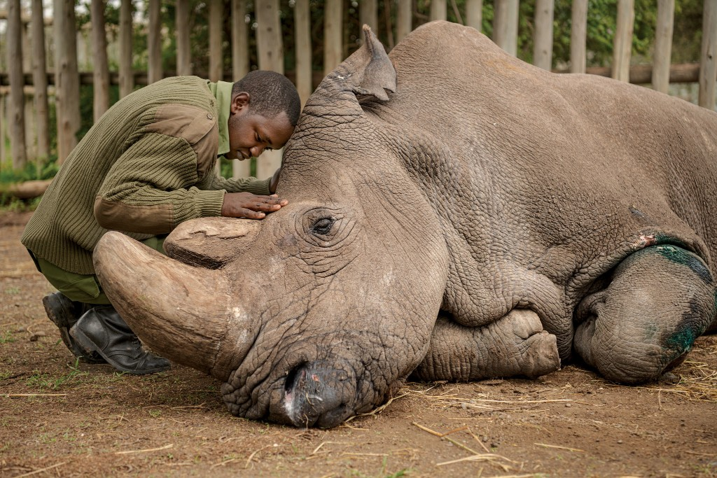 What I learned documenting the last male northern white rhino's death