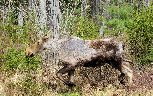What's a Ghost Moose? How Ticks Are Killing an Iconic Animal