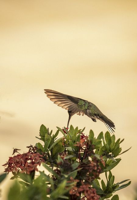 hummingbird Photo by Clement Roy — National Geographic Your Shot