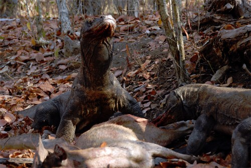 The Myth of the Komodo Dragon's Dirty Mouth