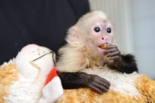 Why Justin Bieber Shouldn't Have a Monkey