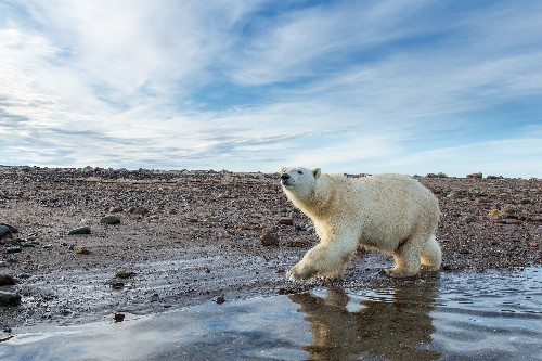 As Sea Ice Shrinks, Can Polar Bears Survive on Land?