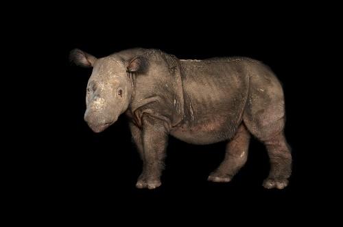 Lonely Male Rhino, Last in U.S., Seeks Mate. Will Relocate
