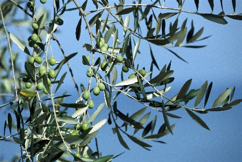 Europe's Olive Trees Are Dying. Here's Why You Should Care