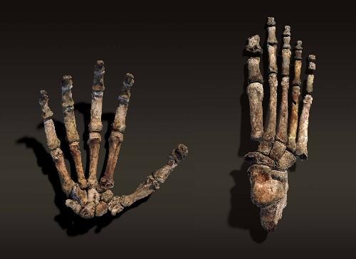 New Human Ancestor Walked Like Us, Climbed Like an Ape