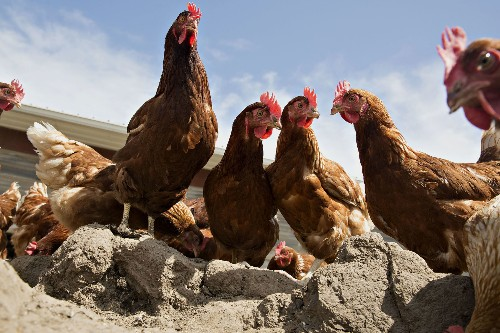 The Surprising Origin of Chicken as a Dietary Staple