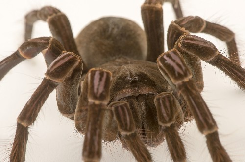 New Tarantula Species Found at Record-Breaking Heights