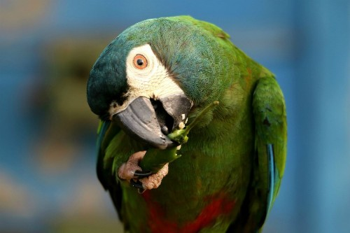 A parrot eating green chili Photo by MD SABBIR — National Geographic Your Shot