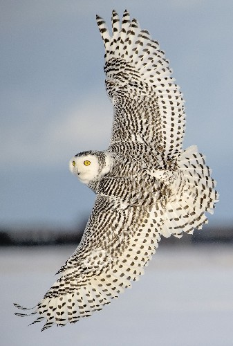 flight of the Snowy Owl Photo by Michelle Valberg — National Geographic Your Shot
