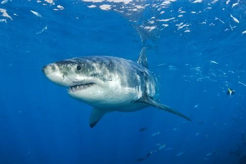 "California Shark Attack Involved ""No Brainer"" Danger"