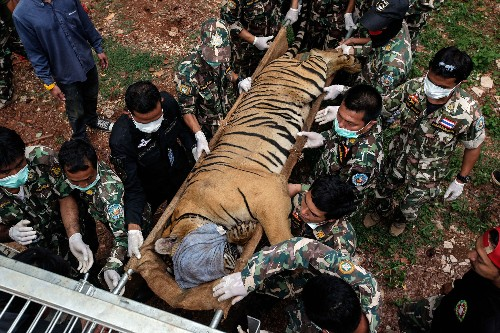 86 tigers rescued from Tiger Temple died in government custody