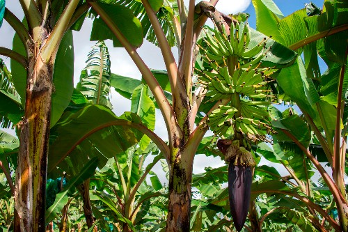 Banana fungus arrives in Colombia, threatening the fruit