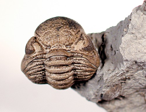 Trilobites Found With Mysterious Markings