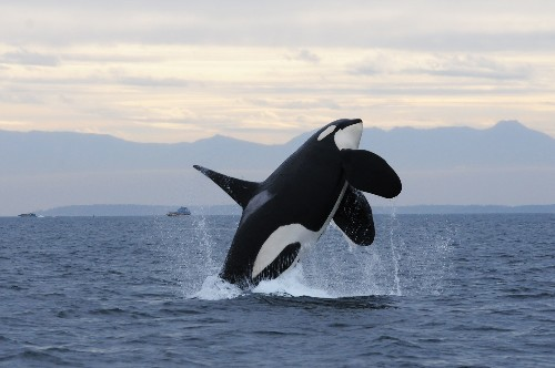 Orca Killed by Satellite Tag Leads to Criticism of Science Practices