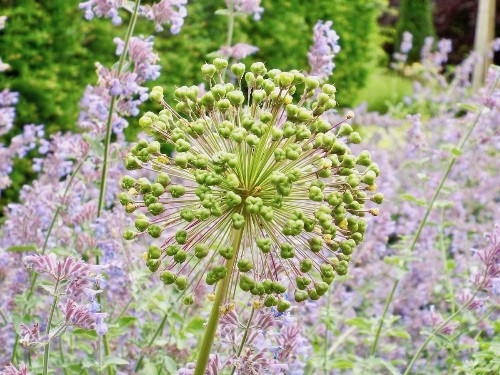 Ornamental Onion: Allium Photo by Emma Bumpus — National Geographic Your Shot